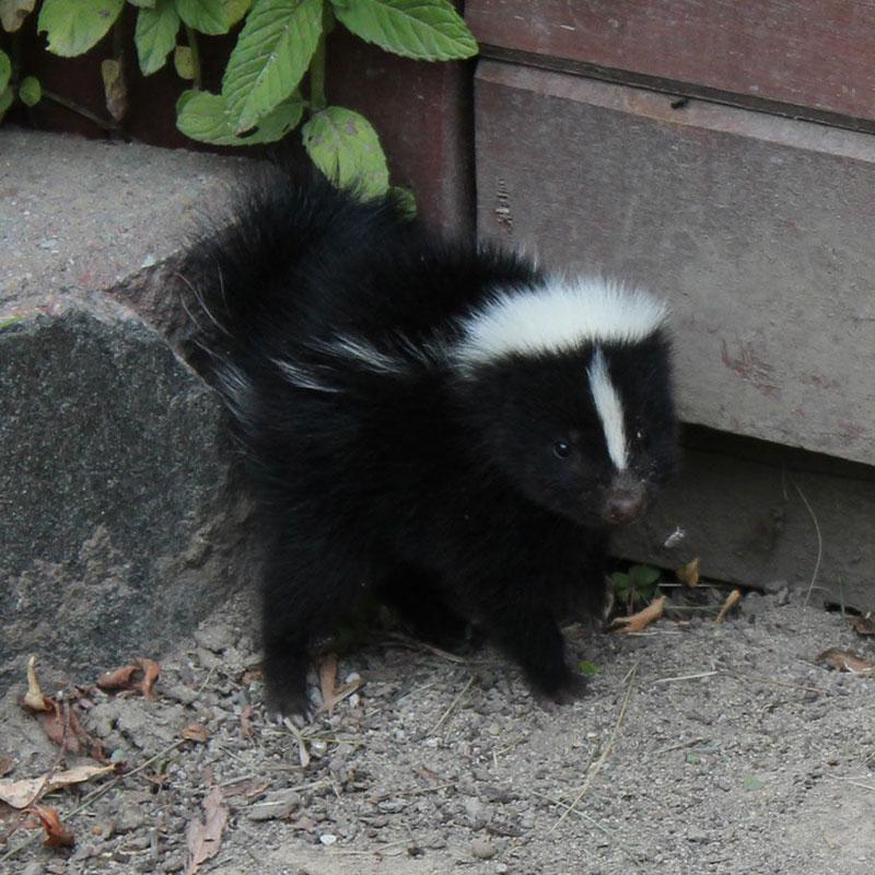 Skunk Was A Loose Part 2