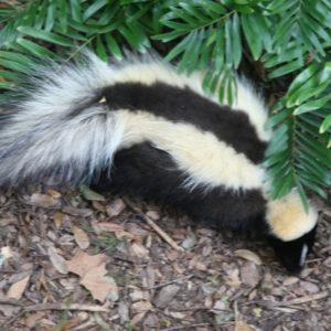skunk-in-yard